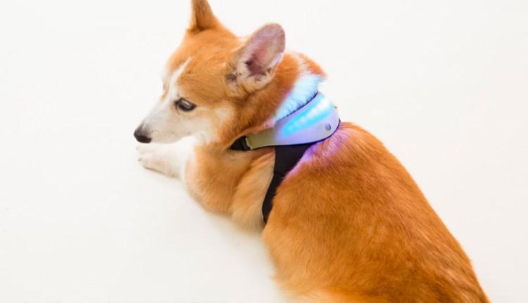 Inupathy on a Dog