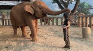adult-elephant-falls-asleep