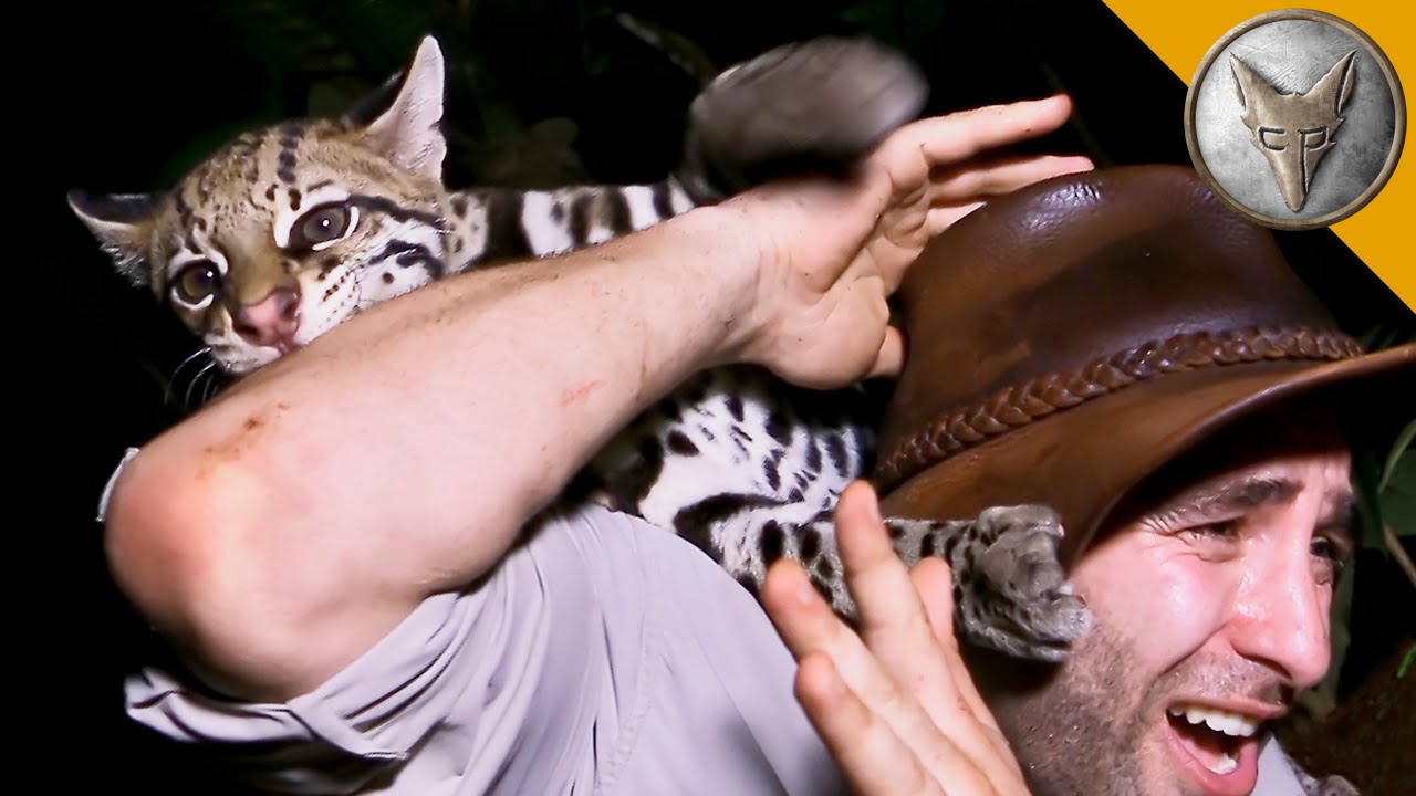 An Unusually Friendly Ocelot Kitten Comes Out to Play With a Surprised Nature Series Host