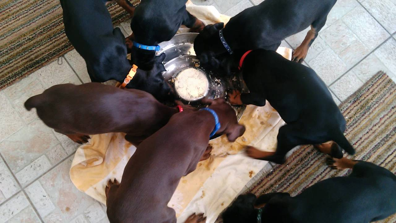 Doberman Puppies Form A Furry Pinwheel As They Walk In Unison Around