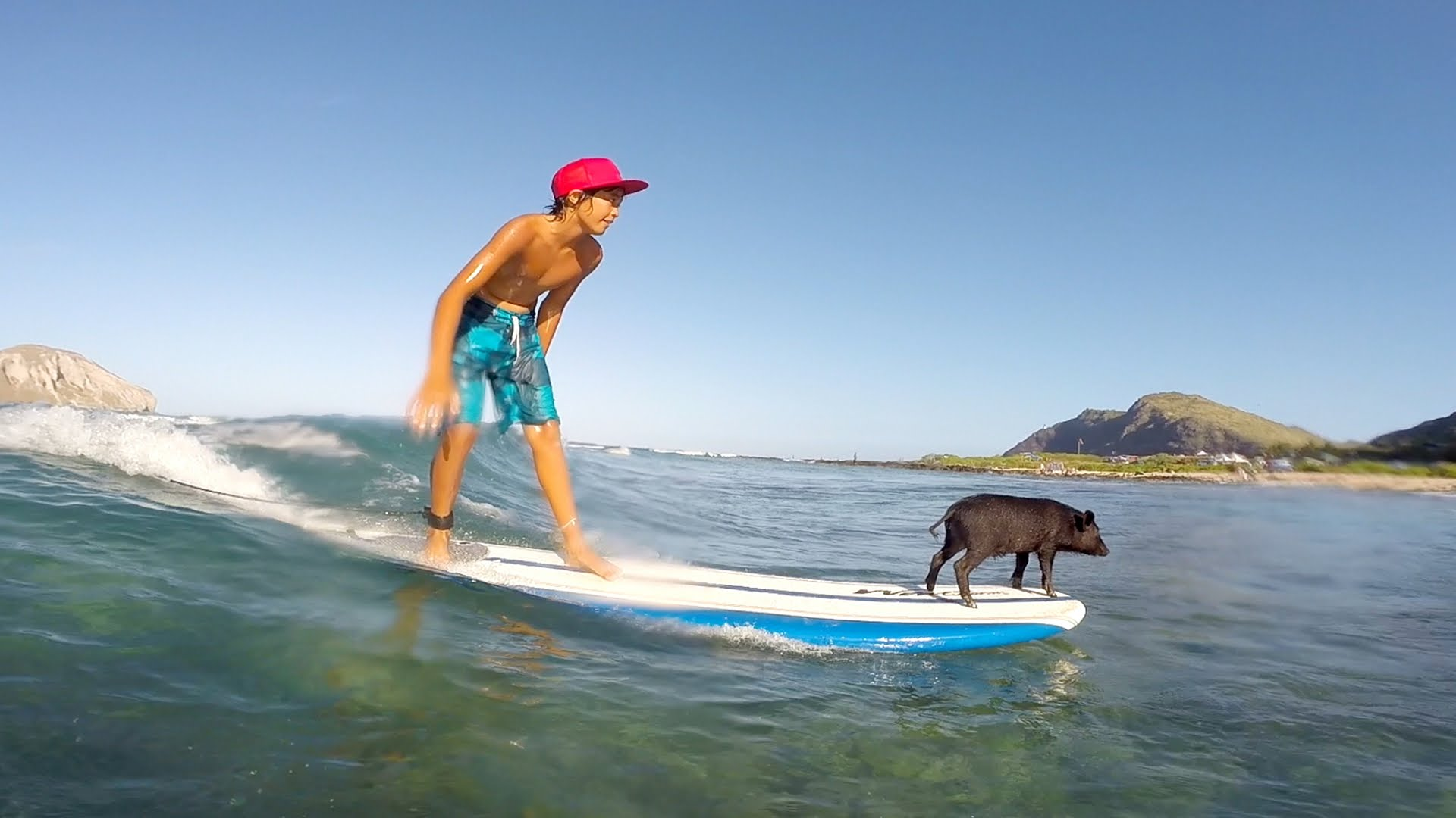 Father and Son Pigs Expertly Ride the Waves in Hawaii Along With ...