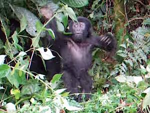 Brave baby gorilla