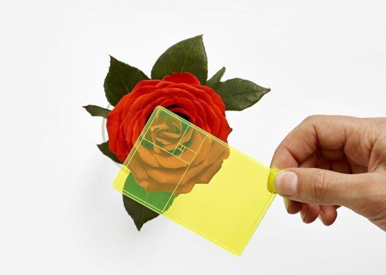 Golden Ratio Finder Against Rose