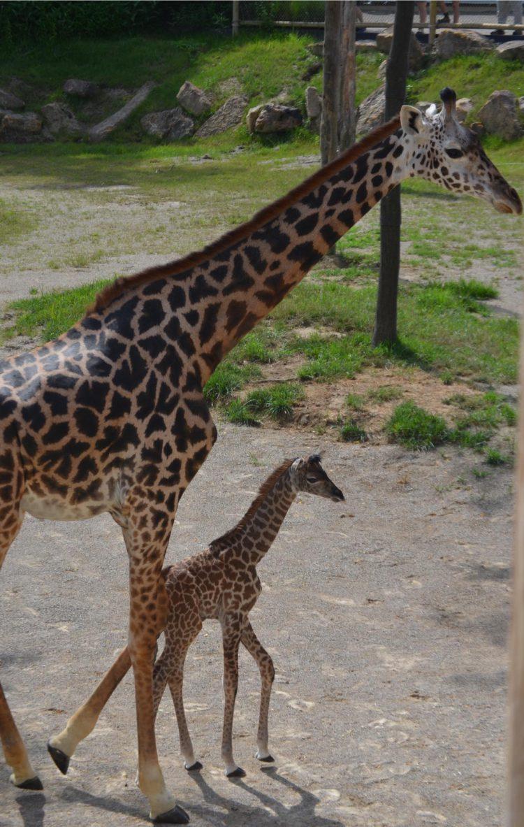 Baby Giraffe and CeCe