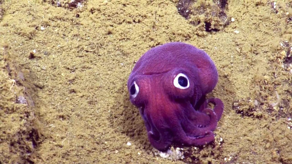 Googly Eyed Squid