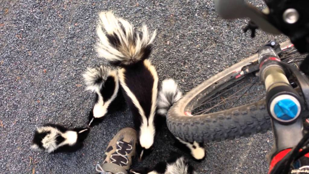 A Family of Curious Skunks Adorably Waddle Towards a Bicycling Human in a Quebec Park