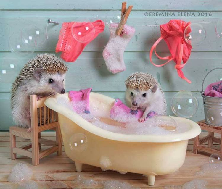 Anthropomorphic Hedgehogs Go About Their Daily Lives in Adorable Photo Series by Elena Eremina