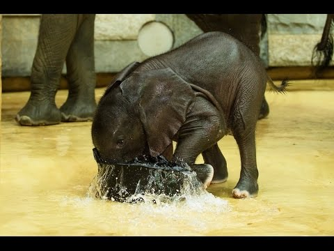 Teeny Tiny Baby Elephant Takes a Bath in a Pail Surrounded by His Larger Showering Pals