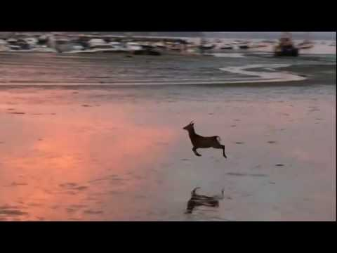 A Carefree Little Deer Bounces Happily Across a Beach at Sunrise in South West England