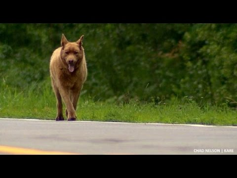 A Dog in Minnesota Inexplicably Walks Four Miles Into Town Everyday to Visit Local Shopkeepers