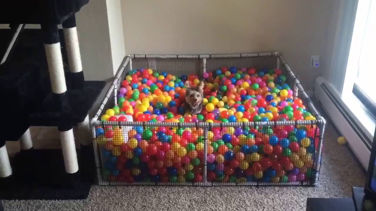 A Tiny Little Dog Playfully Leaps Into His Custom Ball Pit