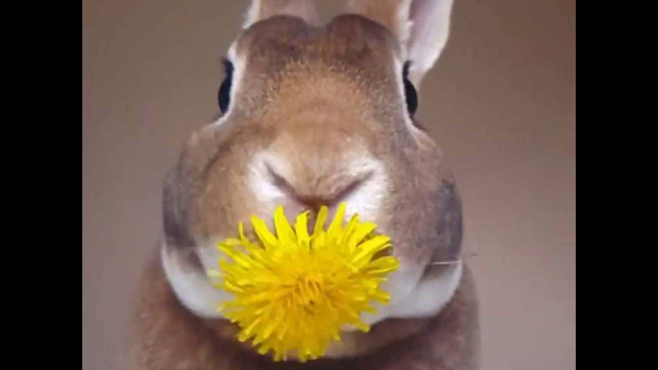 An Adorable Bunny Enjoys a Yummy Dandelion Without Dropping a Single Petal From His Mouth