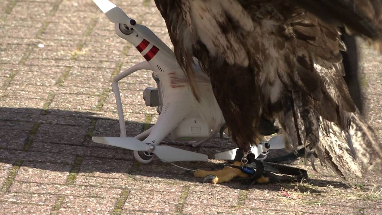 Dutch Police Demonstrate How They Use Trained Eagles to Knock Illegal Drones Out of the Sky
