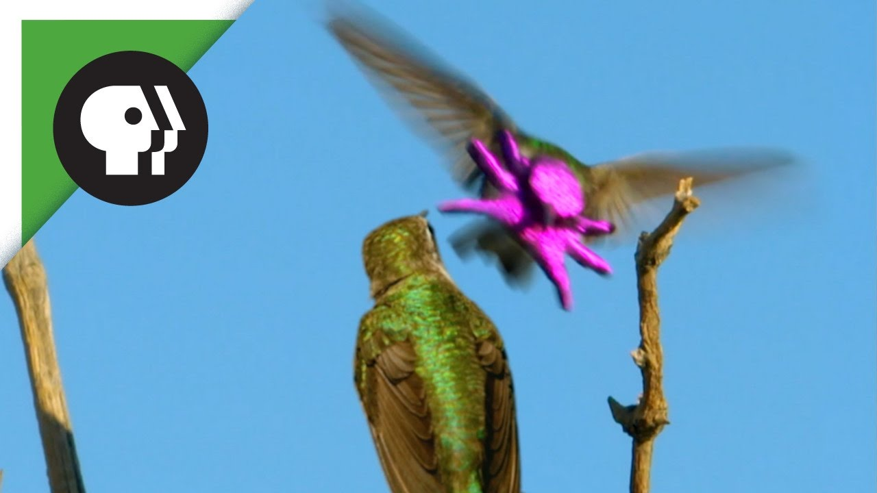 A Hopeful Male Hummingbird Transforms His Face Into A Brightly