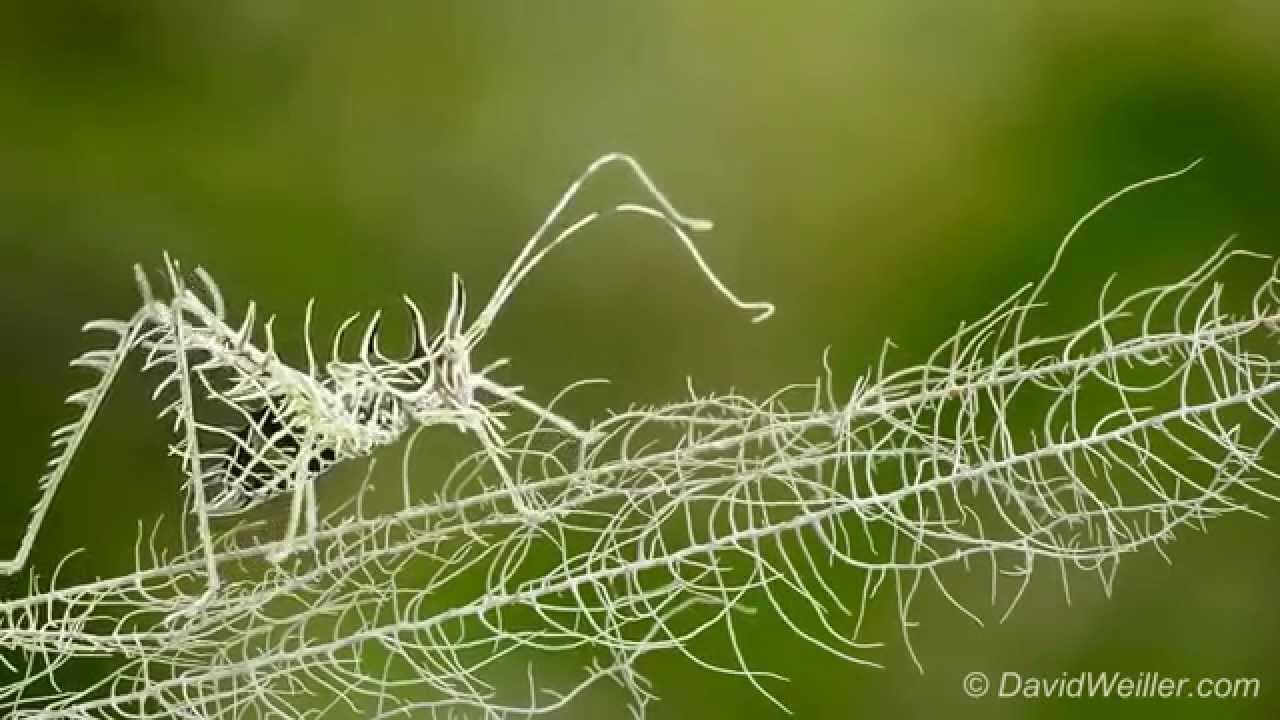 Gorgeous Footage of a Camouflaged Lichen Katydid Delicately Walking Along Its Matching Branch