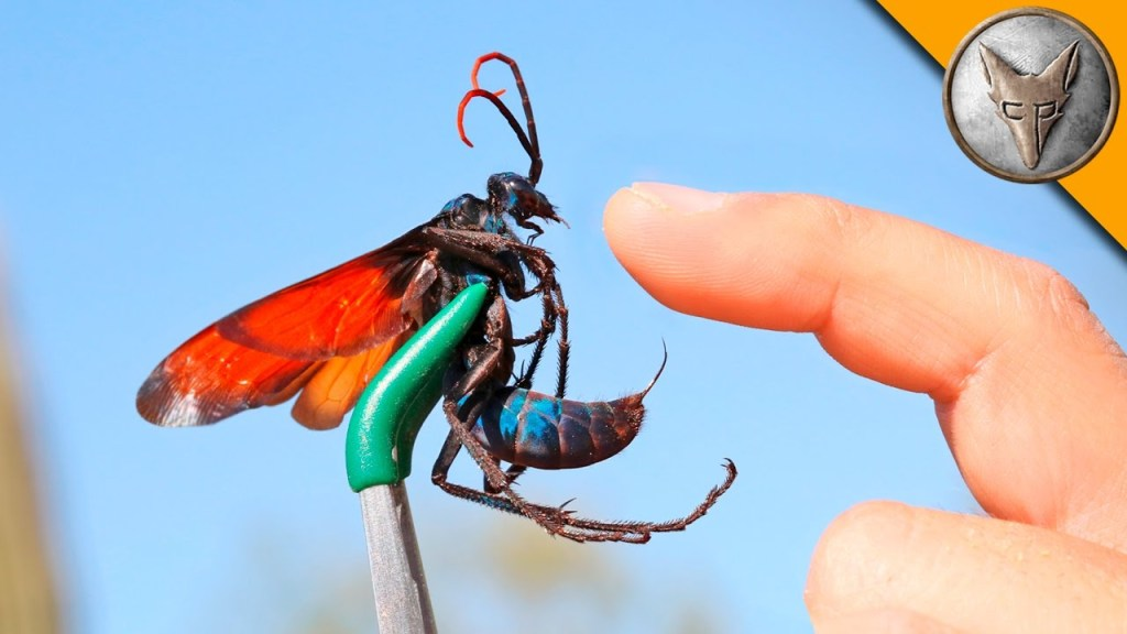 Coyote Peterson Allows Himself to Endure the Painful Sting of the Tarantula Hawk Wasp