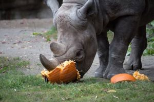 Rhino Pumpkin