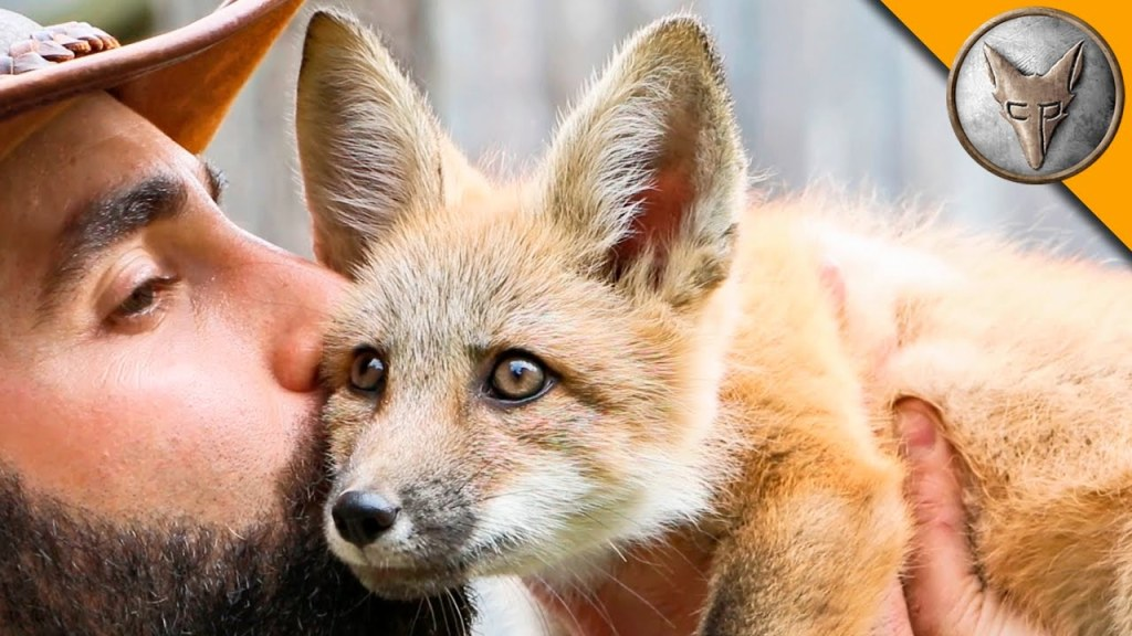 Coyote Peterson Uses His Sock to Capture the Attention of an Playful Orphaned Baby Red Fox