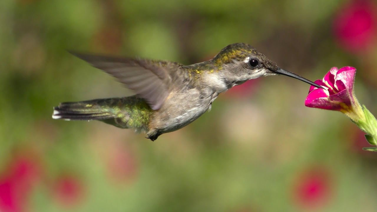 Stanford University Researchers Seek to Explain the Mysterious Hovering Flight of the Hummingbird