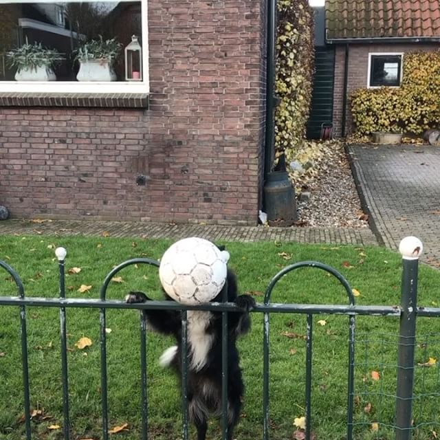 A Clever Dog Figures Out How to Play Fetch With the People Who Pass by Her Fenced-In Garden