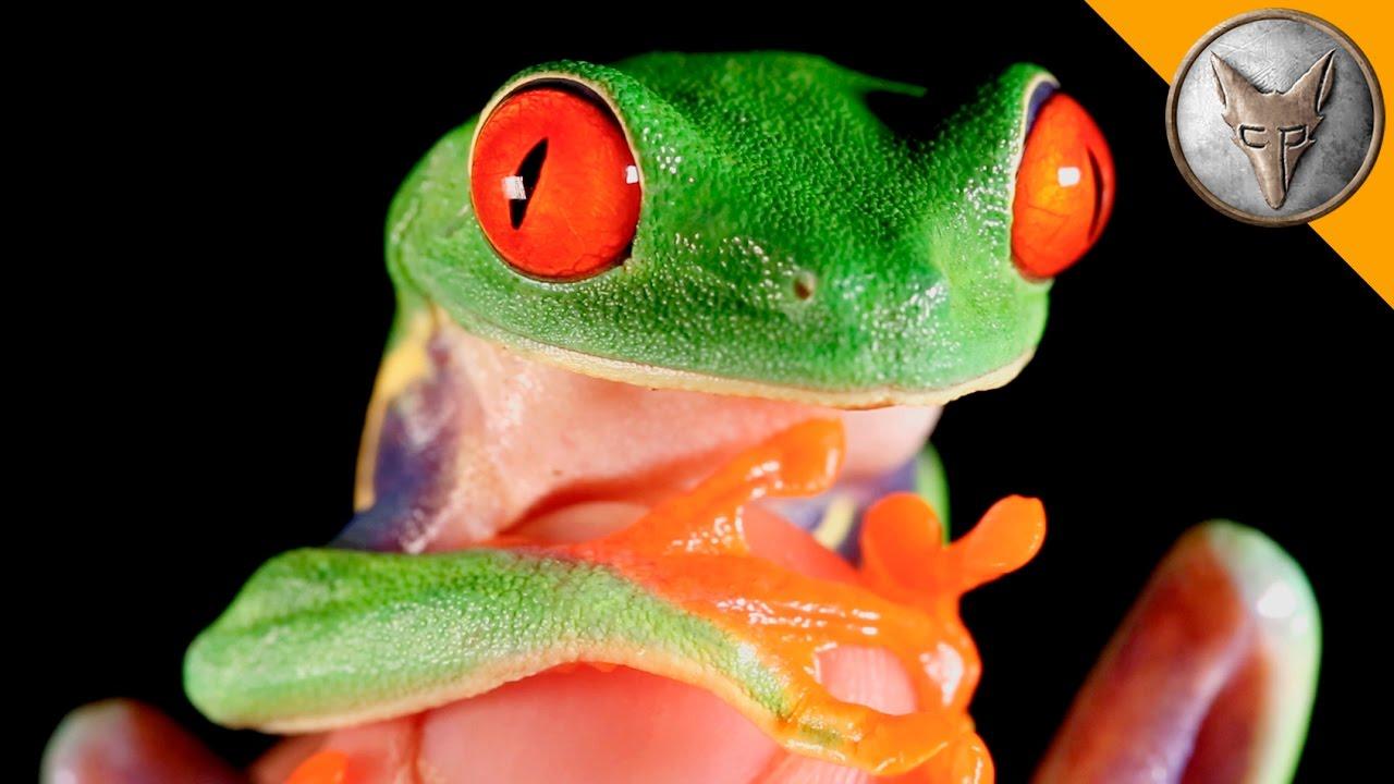 File:Red-eyed Tree Frog (Agalychnis callidryas) 4.jpg - Wikimedia ...