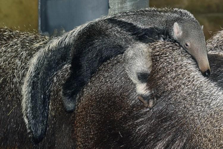 Baby Anteater Closeup