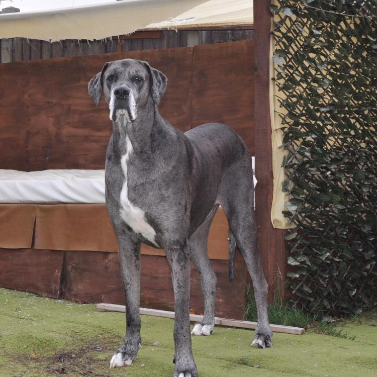 Freddy the Great Dane Is Named the World's Tallest Male ... - photo#8