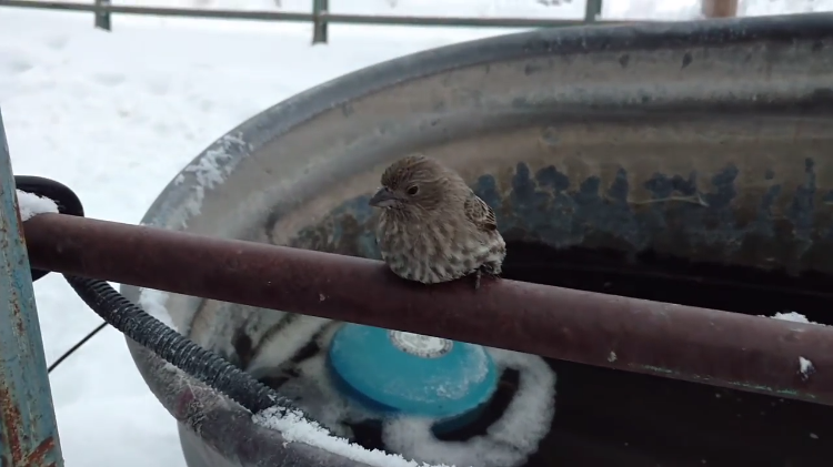 A Kind Man Uses His Warm Breath To Free a Bird Who Was Frozen Onto a Steel Fence