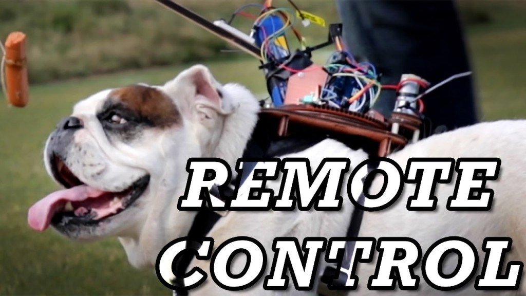 A Funny Bulldog Refuses to Cooperate With His Human's Dangling Reward-Based Backpack Robot