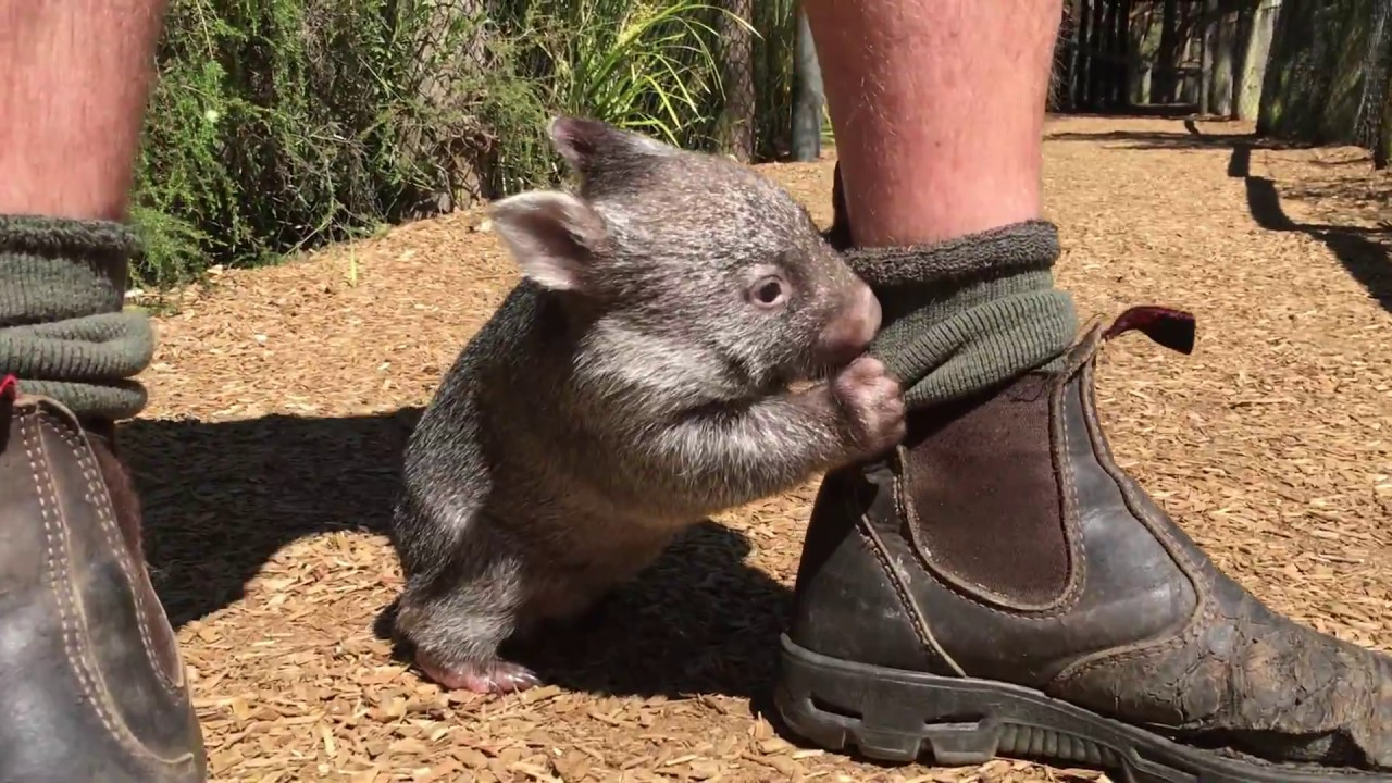 An Adorable Rescued Baby Wombat Follows His Human Caretaker Everywhere He Goes