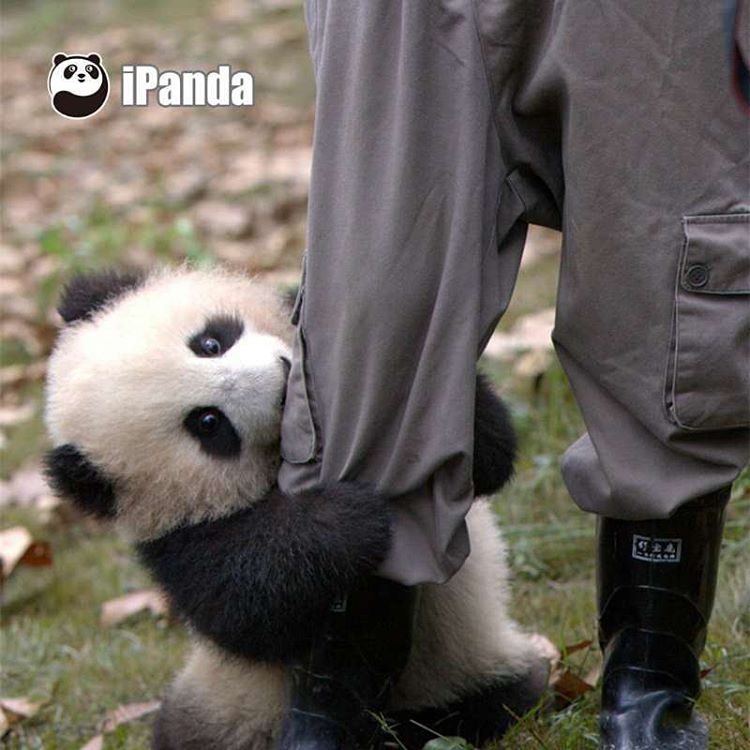 A Stubborn Baby Panda Attempts to Cling to Her Keepers Leg Despite His Repeated Refusals