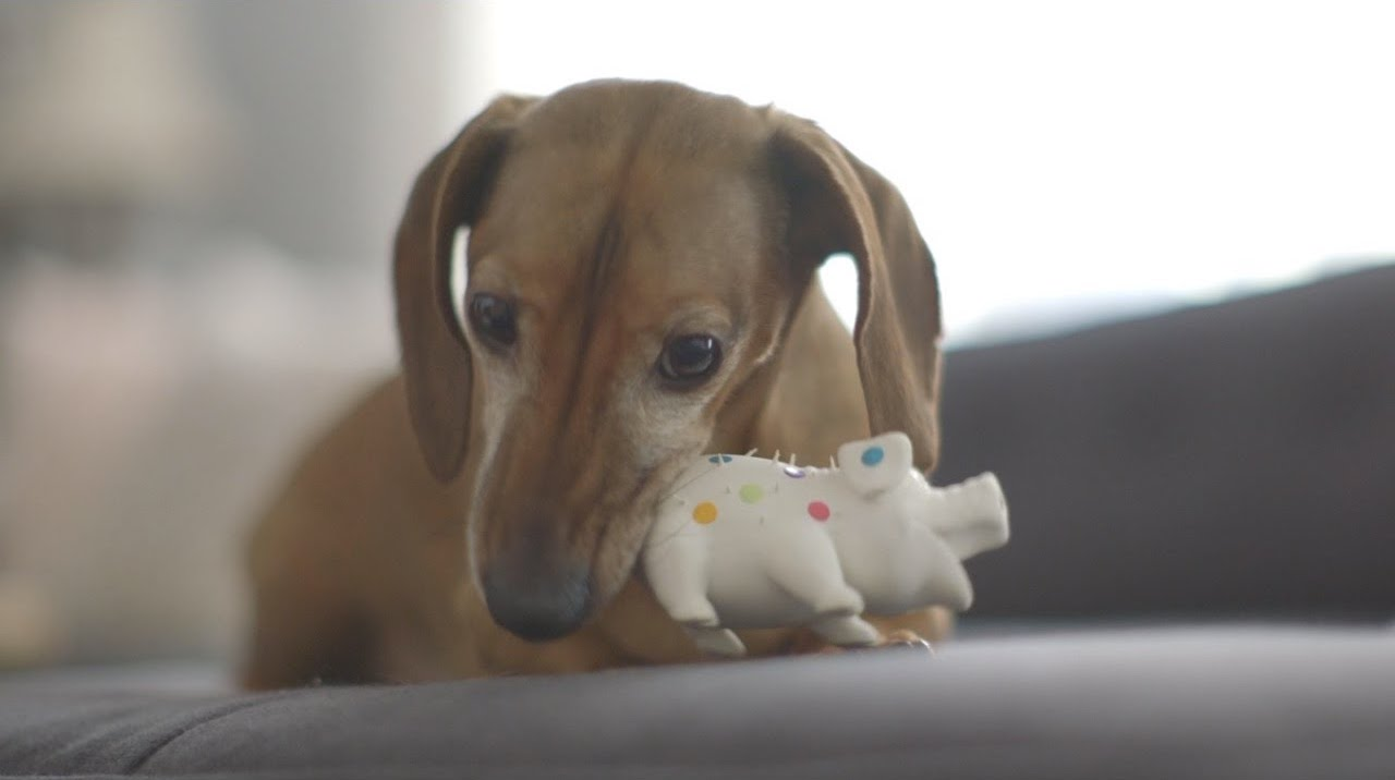 A Vocal Little Dachshund Excitedly Reunites With a Favorite Piggy Toy He Hasn't Seen in Five Years