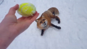 Fox Fetch