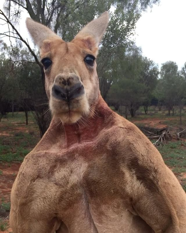 Roger The Kangaroo Flexes His Giant Muscles In An Effort