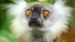 Lemur Getting High