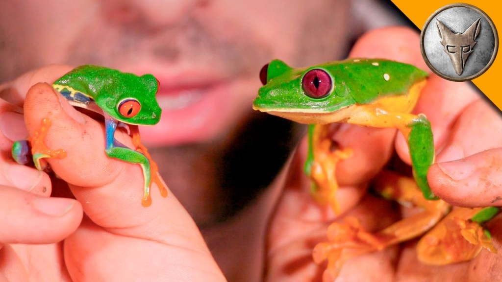 Coyote Peterson Conducts a Face to Face Meeting With a Red-Eyed Tree Frog and a Gliding Tree Frog