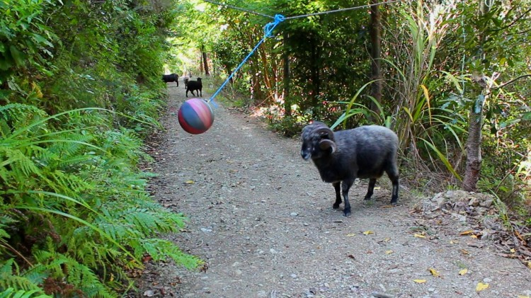 Rambro the Angry Ram Becomes Hilariously Frustrated by a Simple Game of Tetherball