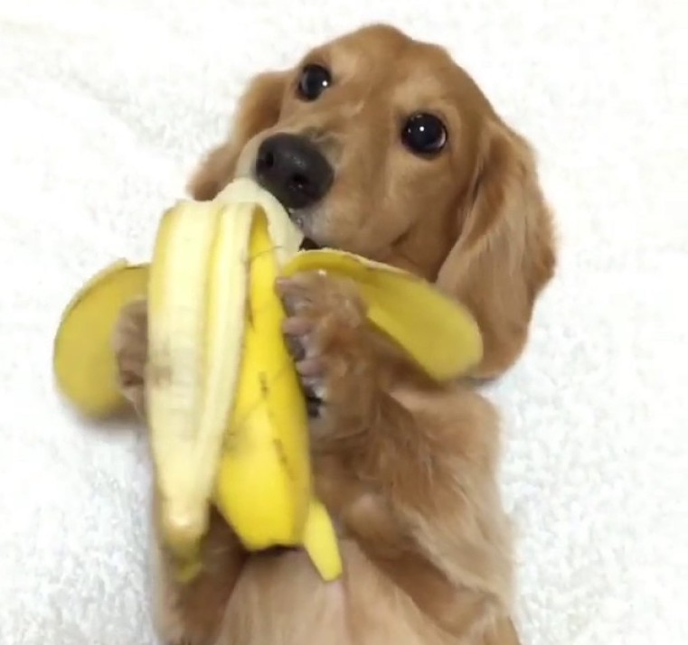 A Hungry Dachshund Puppy Snacks Upon A Yummy Banana That Hes