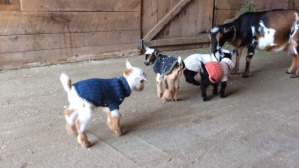 Four Baby Goats
