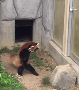 JaJa Rearing Red Panda