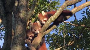 Red Panda Babies