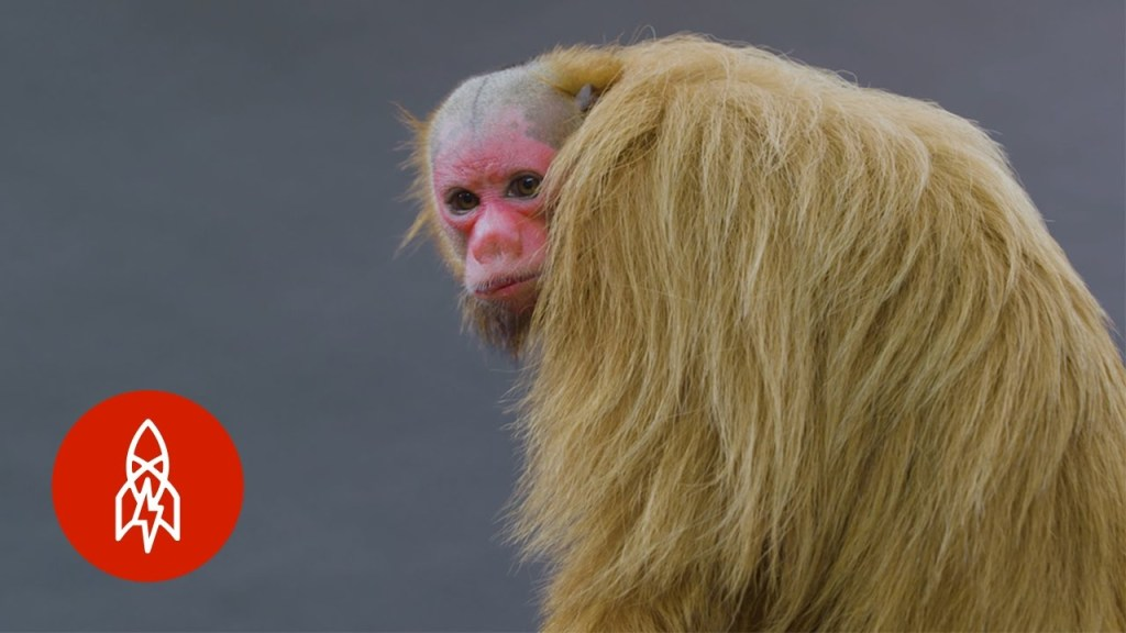 An Up Close Meeting With a Beautiful Red-Faced Bald Uakari Monkey of the Rainforest