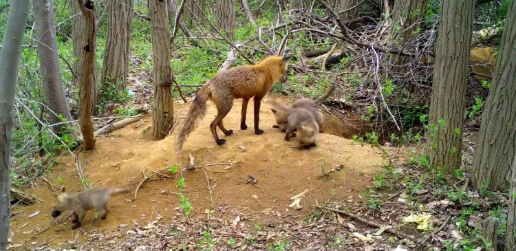 High School Camera Trap Project Captures Daily Footage of a Family of Foxes Outside Their Den