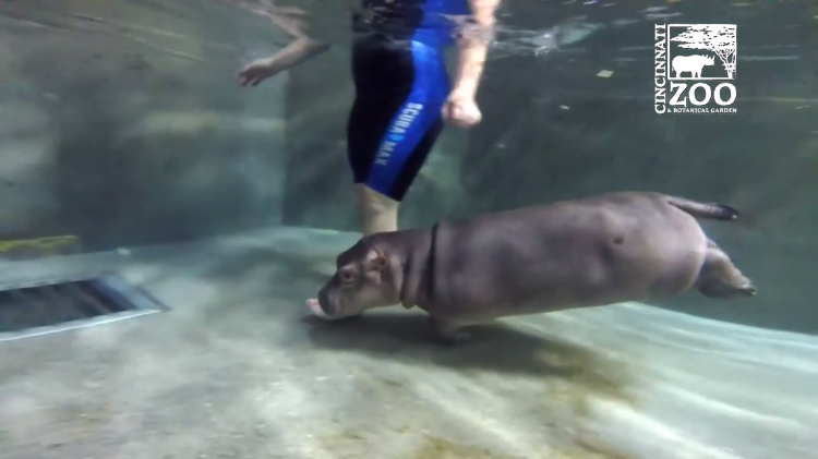 Fiona Hippo In Deep Water