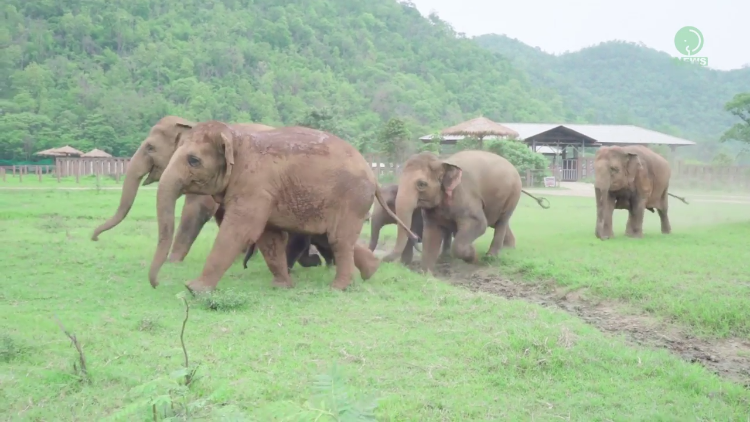 A Herd of Excited Elephants Rush Across the Park to Greet a Newly Arrived Orphaned Baby Elephant