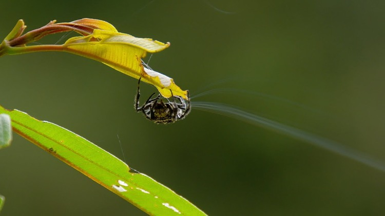 A Tiny Darwin's Bark Spider Shoots a Silk Line Over 25 Meters to Begin Spinning Her Giant Web