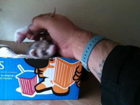An Excited Ferret Repeatedly Drags Her Human's Hand Over to the Box Holding Her Newborn Babies