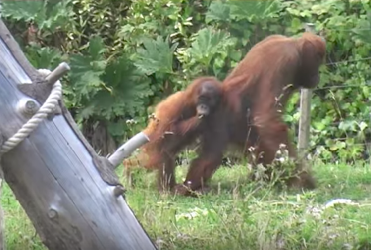 Stubborn Baby Orangutan Repeatedly Escapes the Firm Grip of His Mother to Return to the Playground
