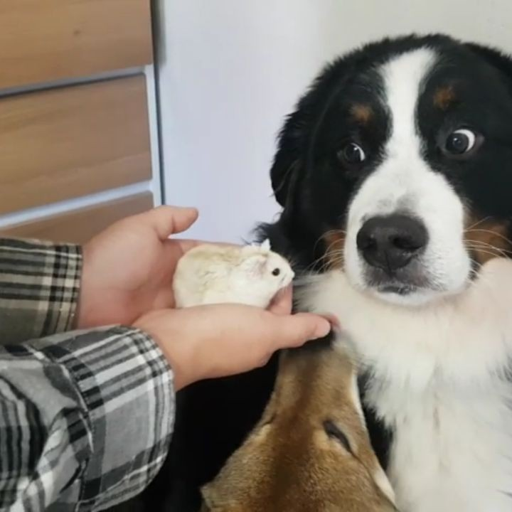 A Disinterested Bernese Mountain Dog Turns His Nose Up at Meeting the New Hamster of the House