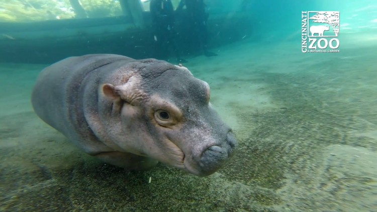 Fiona the Baby Hippo Practices Her Deep Water Surfacing Skills After Hours In the Outdoor Pool